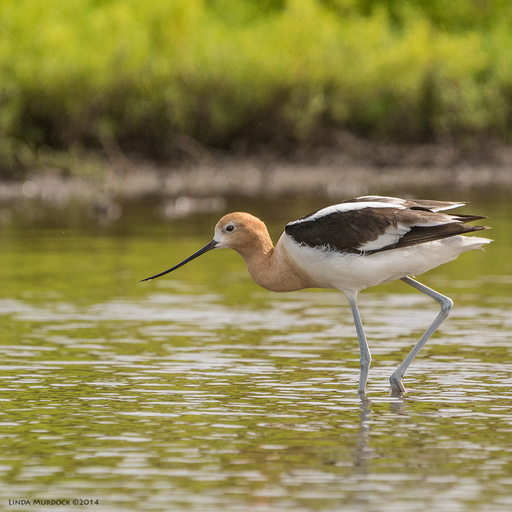 American Avocet    Sony A77 II with 70-400mm G21/2000 sec. f/6.3 ISO500