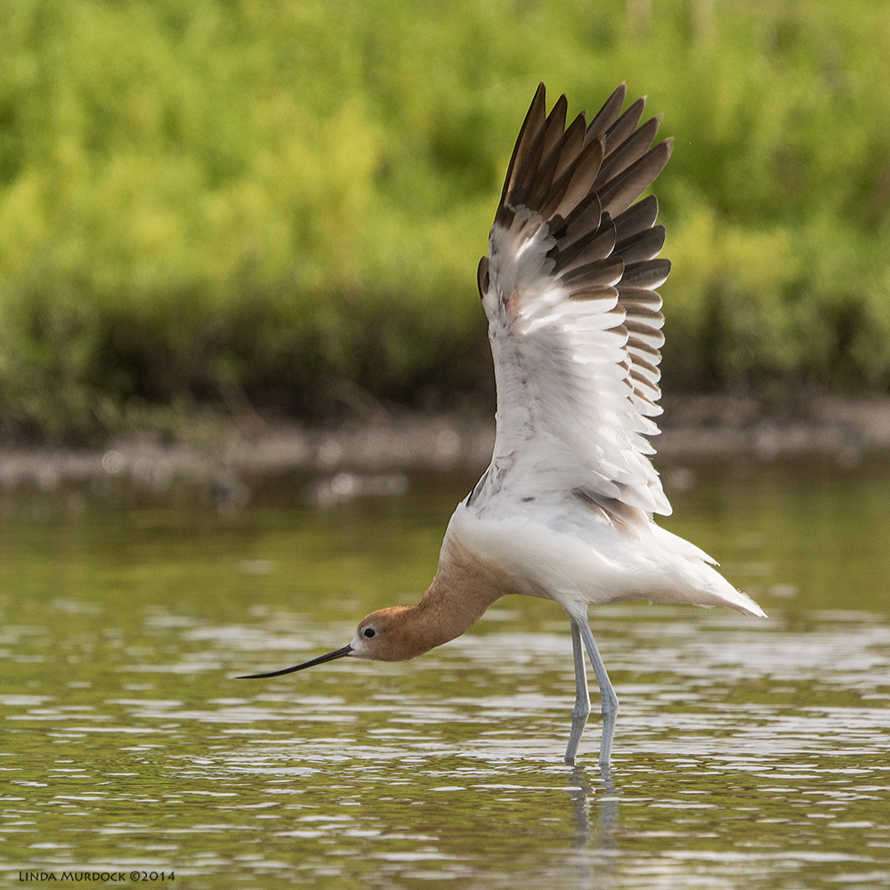 American Avocet stretching and showing off    Sony A77 II with 70-400mm G21/2000 sec. f/6.3 ISO500