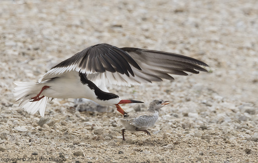 Gull-billed chick running for his life - photo by William Maroldo    Sony A77 II with 500mm f/4G1.4 teleconverter 1/2000 sec. f/7.1 ISO 1000