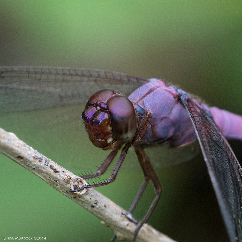 Roseate Skimmer closeup    Sony A77 II with 70-400mm G2 1/160 sec. f/7.1 ISO 400