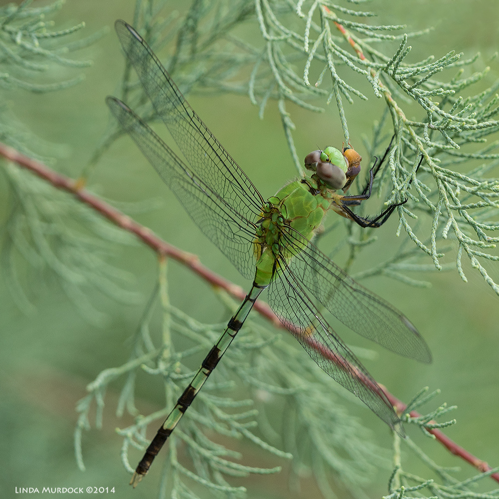 Female or young male Eastern Pondhawk with lunch!    Sony A77 II with 70-400mm G2 1/250 sec. f/7.1 ISO 400