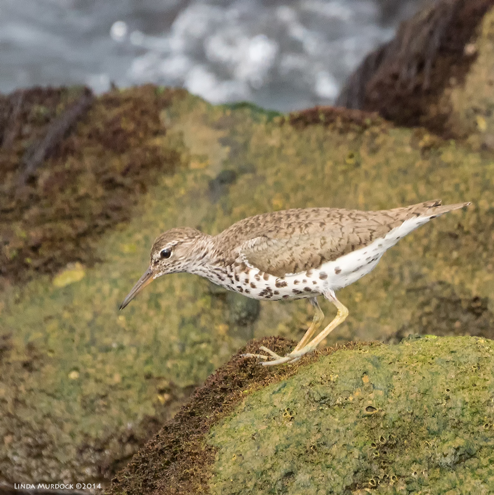 Spotted Sandpiper    Sony A77 II with 70-400mm G2 1/640 sec. f/6.3 ISO 1000