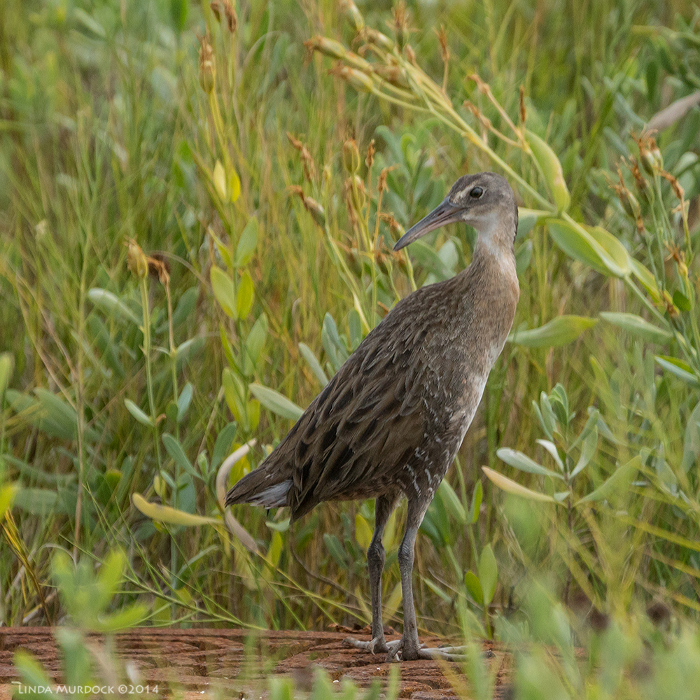 Clapper Rail hiding in the brush    Sony A77 II with 70-400mm G21/2000 sec. f/5.6 ISO400