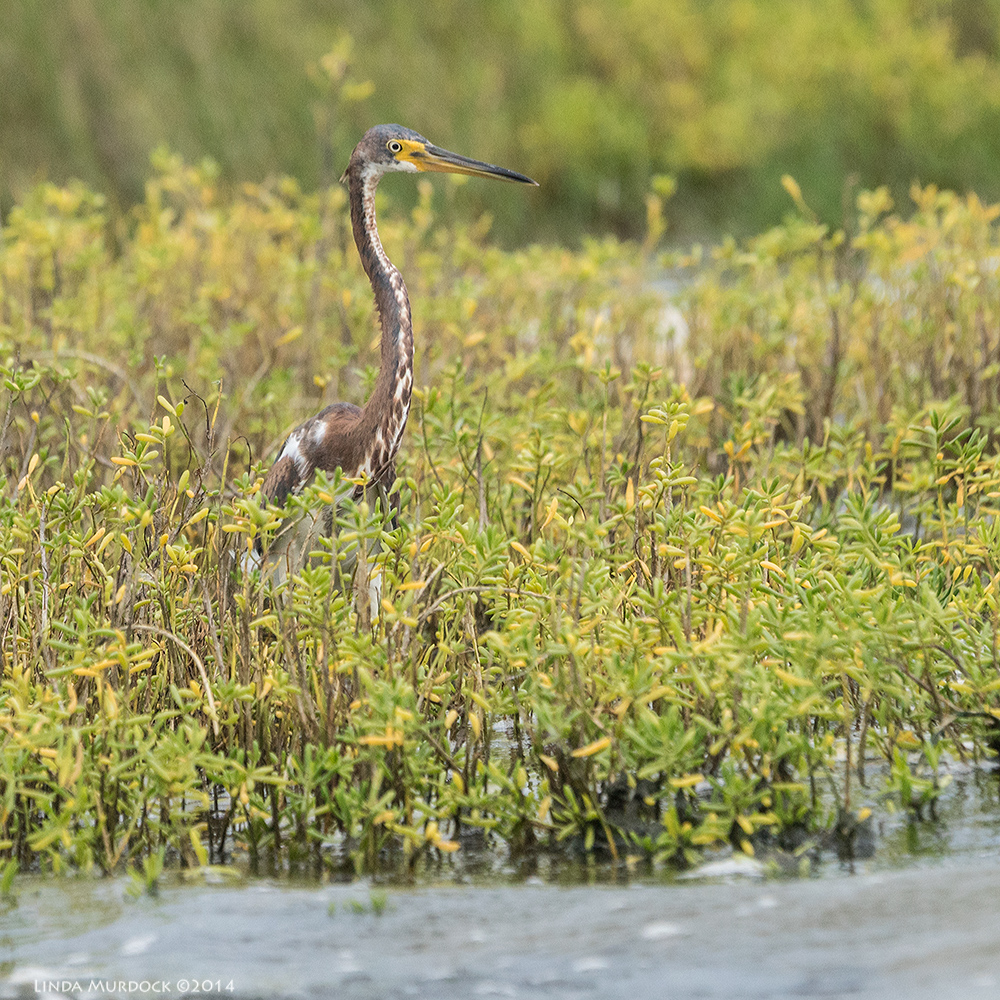 Juvenile Tricolored Heron checks out the locale   Sony A77 II with 70-400mm G2 1/2000 sec. f/6.3 ISO 800