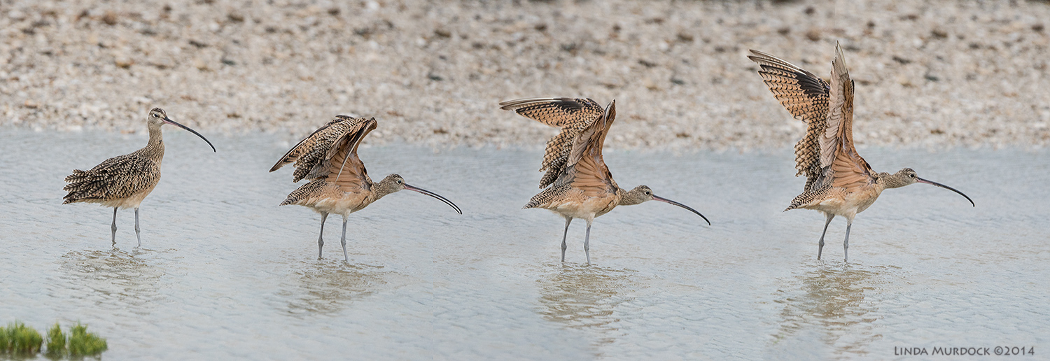 Long-billed Curlew shows you his wings...