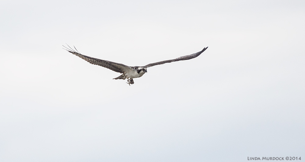 Osprey in flight with dinner    Sony A77 II with 70-400mm G21/2000 sec. f/5.6 ISO 640