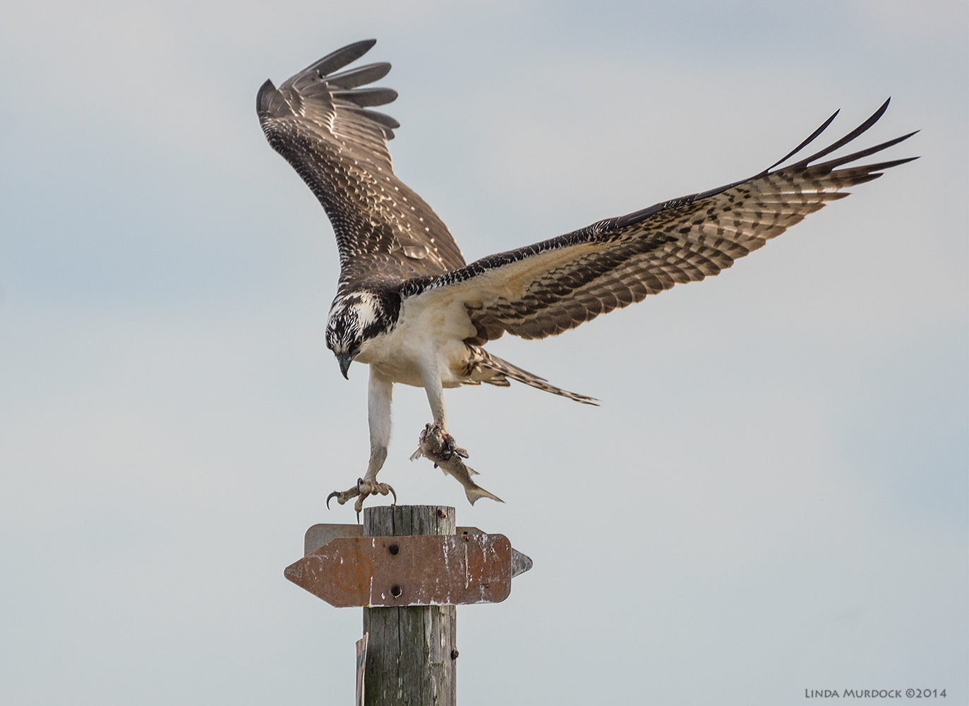 September Osprey landing with his fish    Sony A77 II with 70-400mm G21/2000 sec. f/5.6 ISO 640