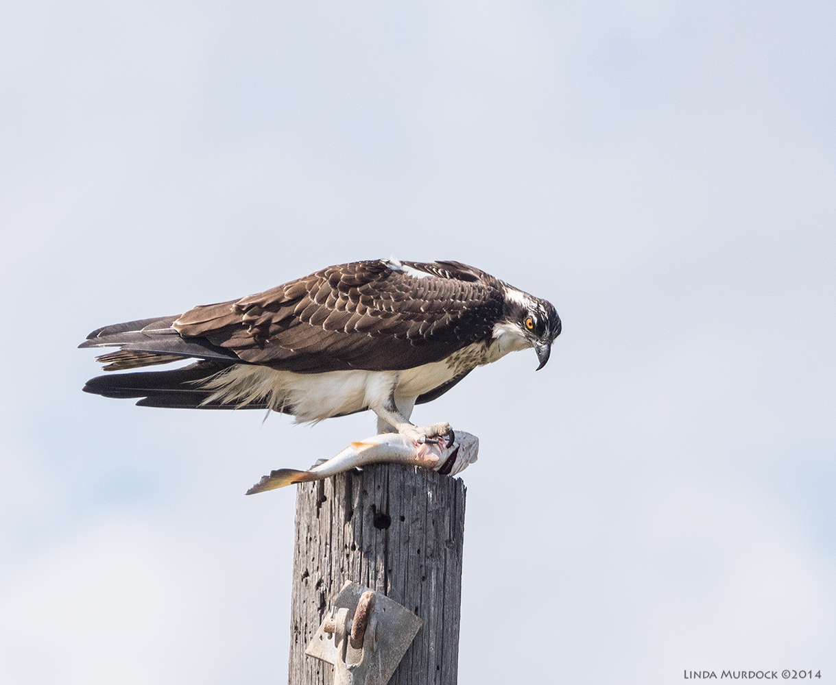 October #1 Osprey with Redfish    Sony A77 II with 70-400mm G21/1600 sec. f/7.1 ISO 640