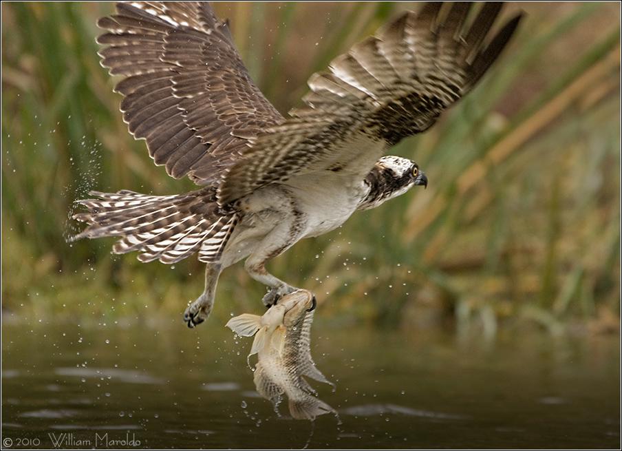 Osprey snatching tilapia from big lake at Storey Park    Photo by William Maroldo