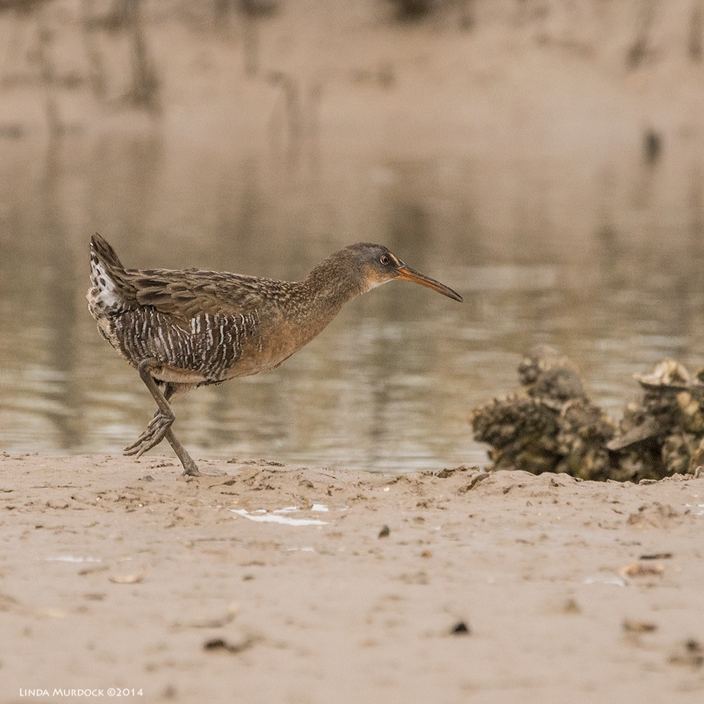 Clapper Rail running away from me    Sony A77 II with 70-400mm G21/1600 sec. f/5.6 ISO 1000