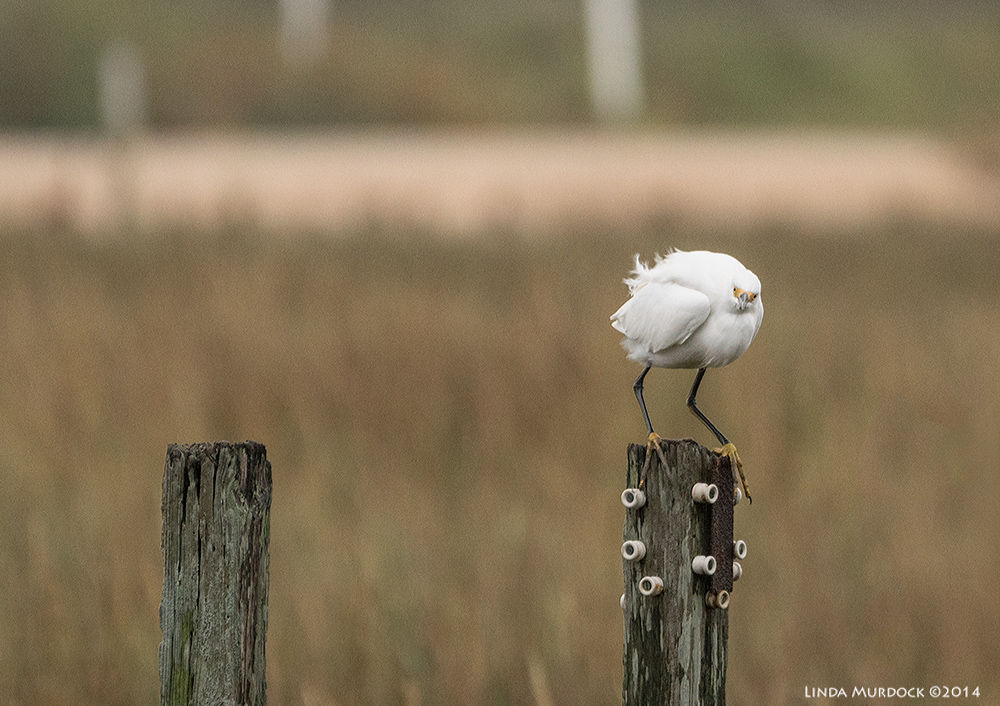 Males and female Snowy Egrets look identical. I just decided this was a girl.    Sony A77 II with 70-400mm G21/640 sec. f/5.6 ISO 1000