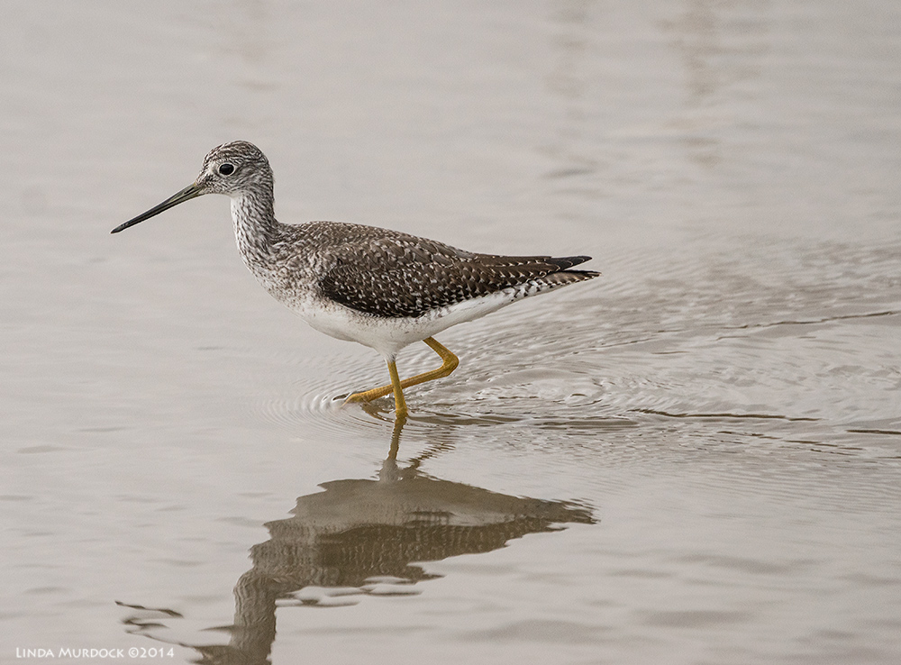 Greater Yellowlegs and his reflection    Sony A77 II with 70-400mm G21/1600 sec. f/5.6 ISO 1000