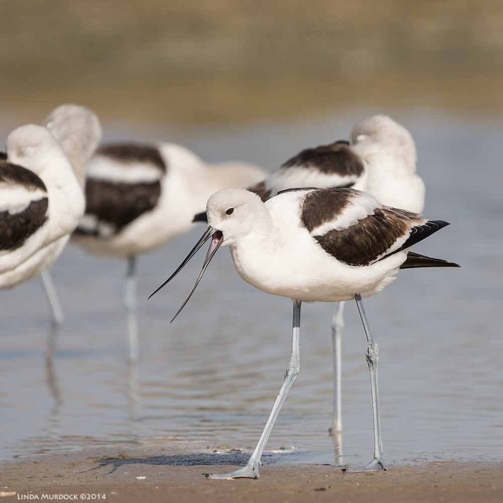 American Avocet in non-breeding colors    Sony A77 II with 70-400mm G21/1600sec. f/5.6 ISO 200