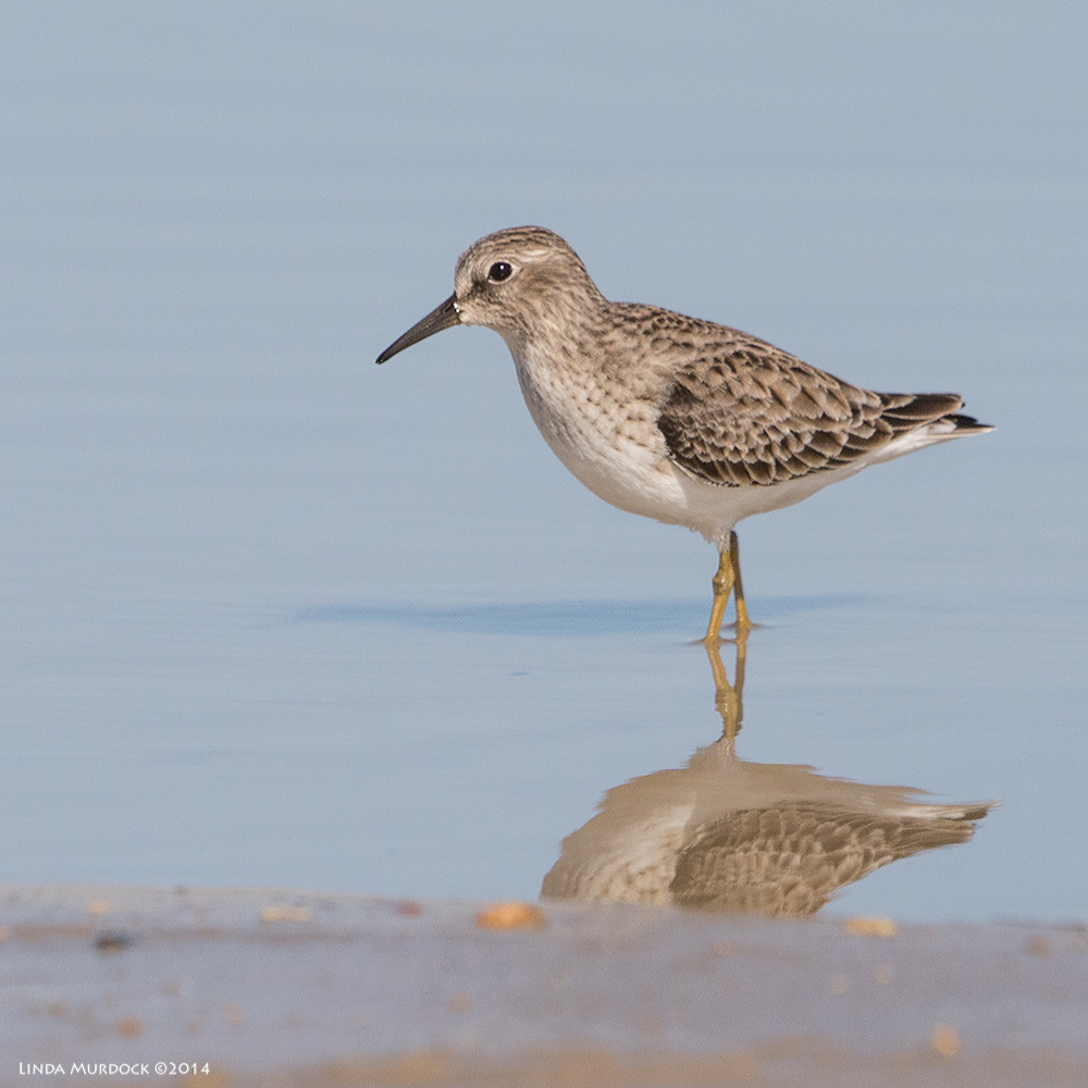 Least Sandpiper portrait    Sony A77 II with 70-400mm G21/2000 sec. f/6.3ISO 400