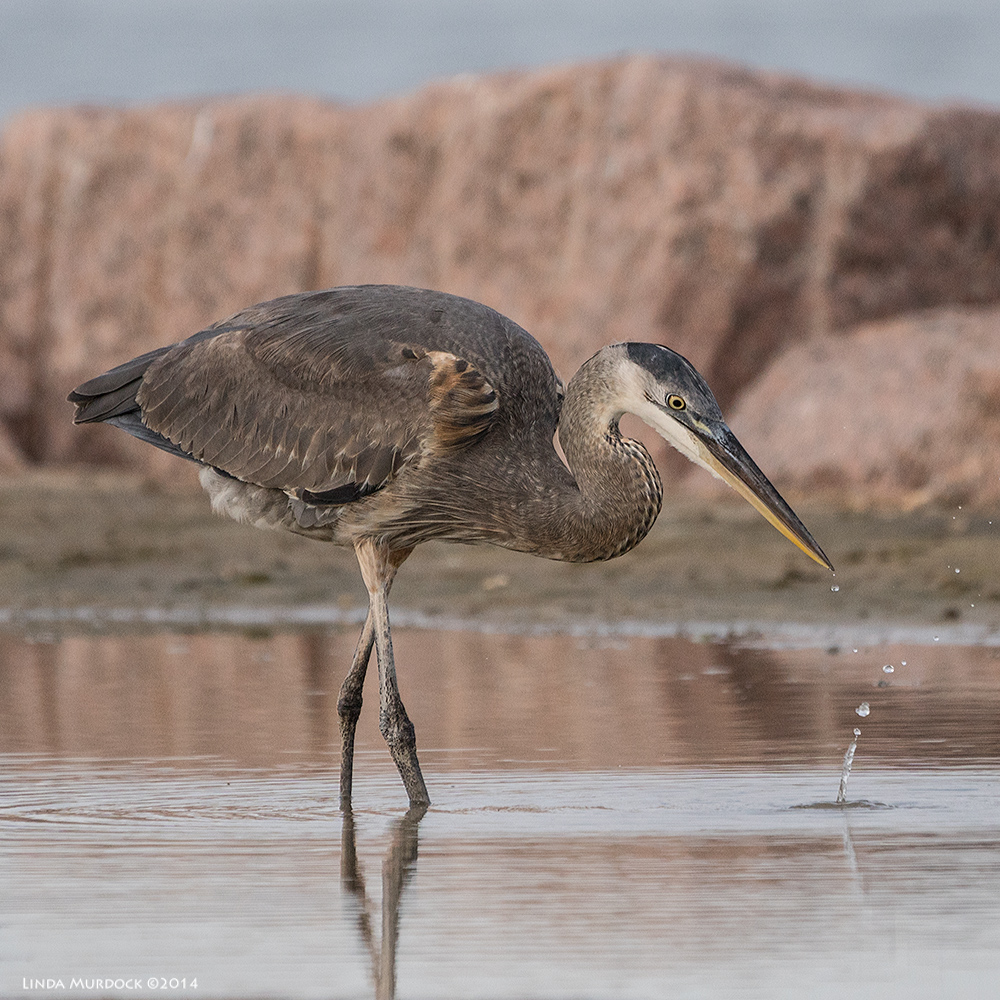 Young Great Blue Heron stops by for a drink    Sony A77 II with 70-400mm G21/1250sec. f/5.6 ISO 640