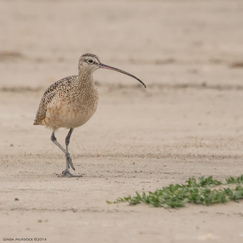 Male or young Long-billed Curlew at Texas City Dike    Sony A77 II with 70-400mm G21/1600sec. f/5.6 ISO 1000