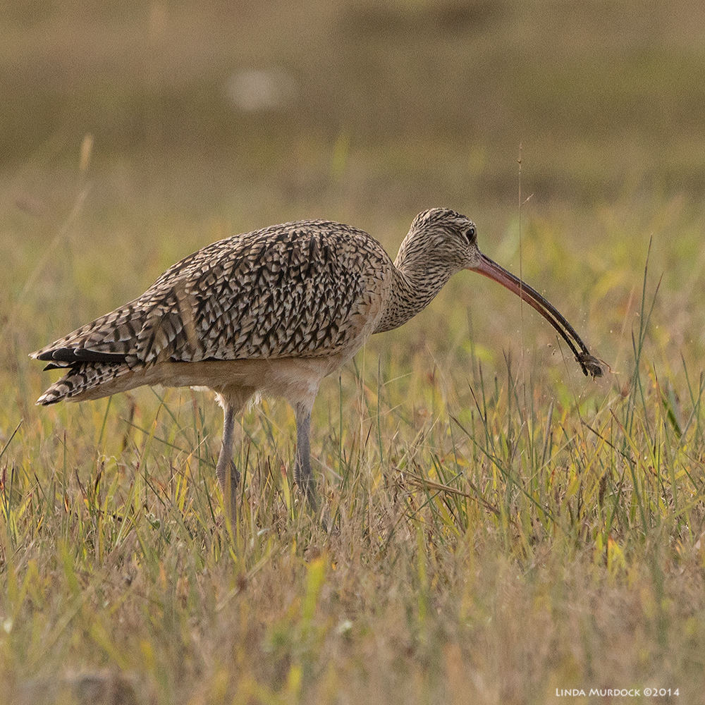 Long-billed Curlew with successful catch    Sony A77 II with 70-400mm G21/1250sec. f/7.1 ISO 800
