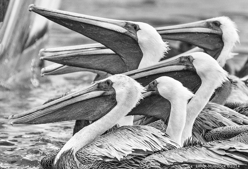 Brown Pelicans looking for a handout    Sony A77 II with 70-400mm G21/1250sec. f/5.6ISO 1250