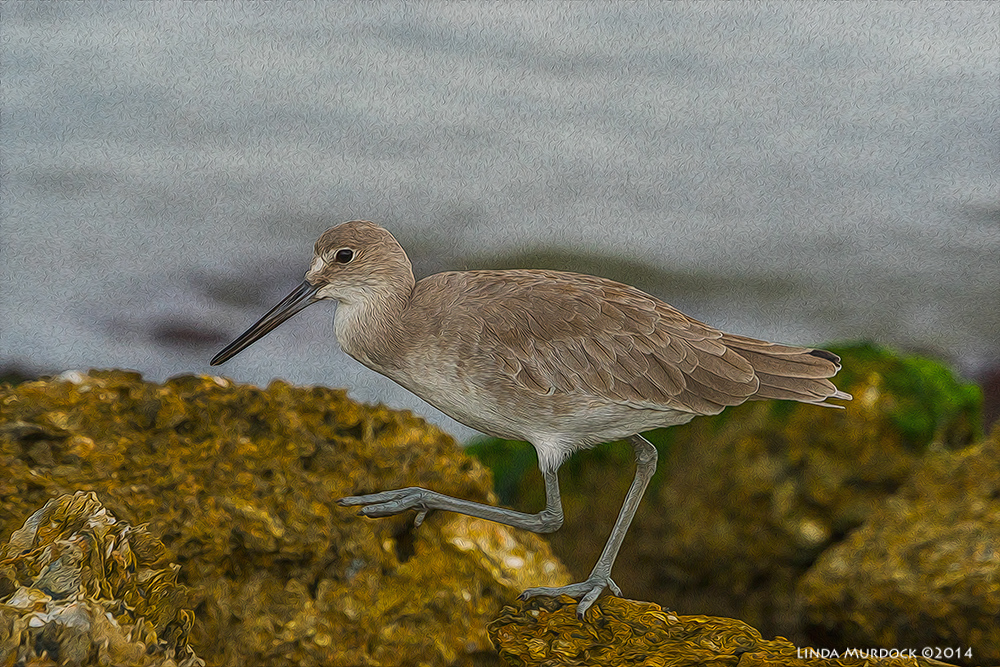 Willet as ArtPhoto - dressed up with Photoshop Plug-ins    Sony A77 II with 70-400mm G21/800sec. f/7.1ISO 800