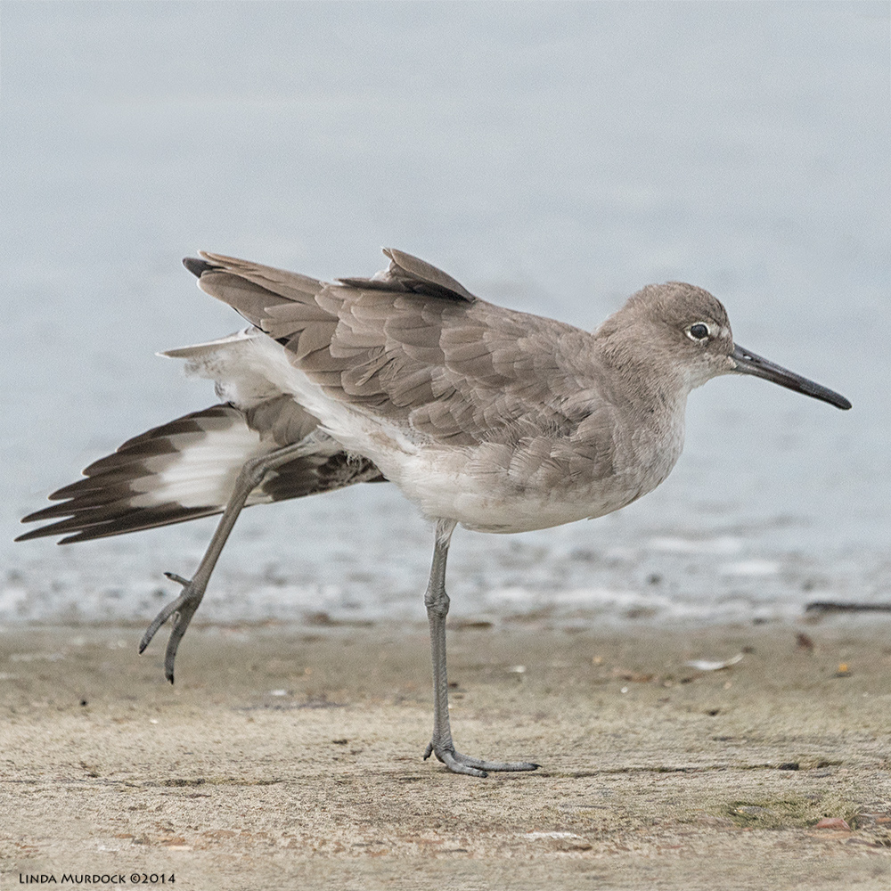 Willet with a big stretch, almost on tip-toe    Sony A77 II with 70-400mm G21/2500sec. f/6.3ISO 800