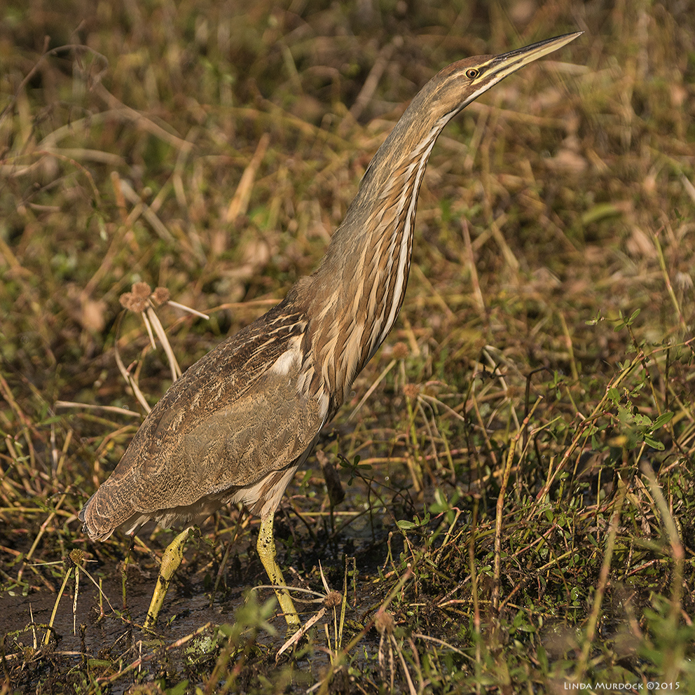 First Bittern of the winter    Sony A77 II with 70-400mm G21/2000sec. f/5.6ISO 320