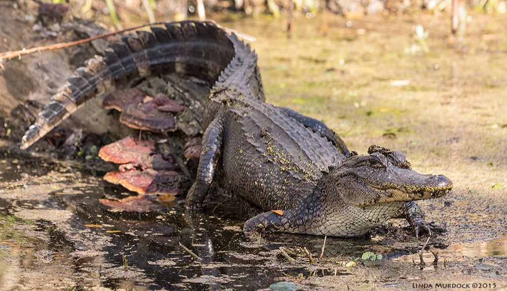 Young alligator sunning on a log. He was maybe 4 feet long.    Sony A77 II with 70-400mm G21/80sec. f/7.1 ISO 640