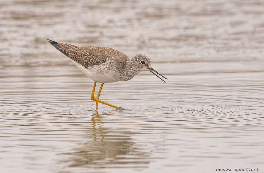 Lesser Yellowlegs cruising the pond    Sony A77 II with 70-400mm G21/1250sec. f/7.1ISO 1000