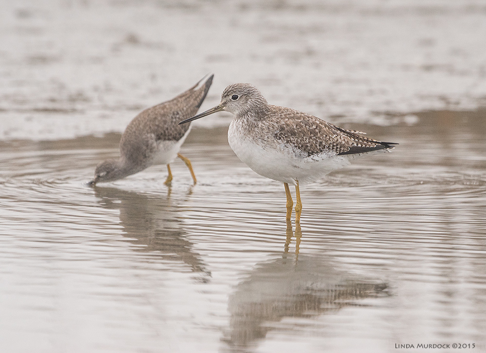 Two Yellowlegs    Sony A77 II with 70-400mm G21/1250sec. f/6.3ISO 1000