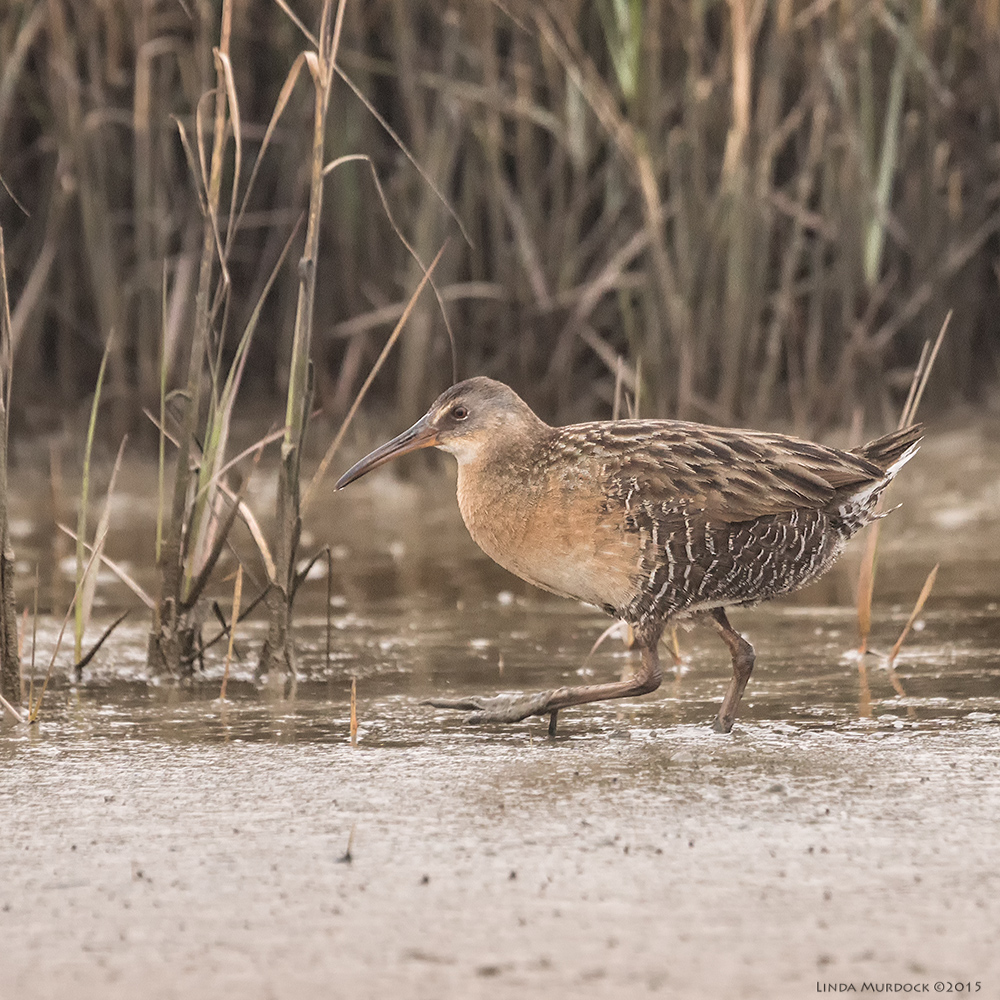 Clapper Rail comes out from the reeds to show himself    Sony A77 II with 70-400mm G21/640sec. f/6.3ISO 1000