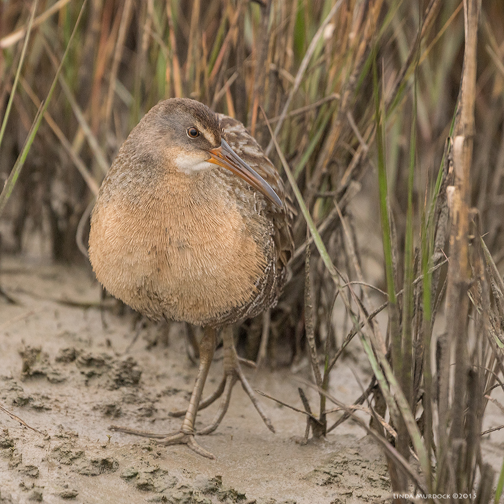Clapper Rail checking out the sounds...    Sony A77 II with 70-400mm G21/800sec. f/5.6ISO 1000