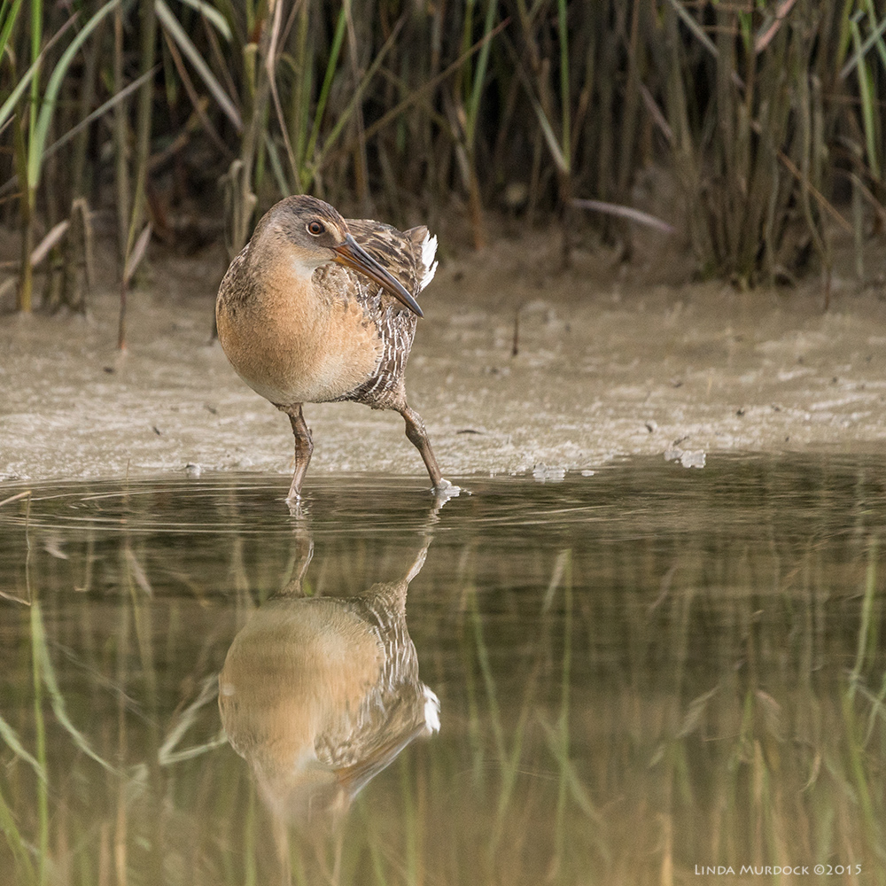 Clapper Rail admiring his reflection    Sony A77 II with 70-400mm G2 1/800 sec. f/5.6 ISO 1000