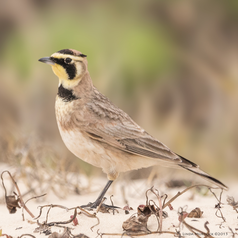 Male Horned Lark showing you his .. horns    Sony A77 II with 70-400mm G2 1/2000 sec. f/5.6 ISO 1000