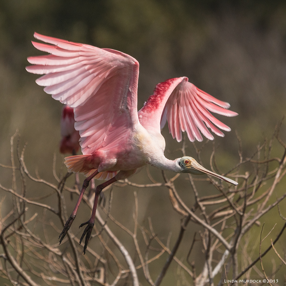 Roseate Spoonbill taking off...    Sony A77 II with 70-400mm G21/2000sec. f/7.1ISO 400