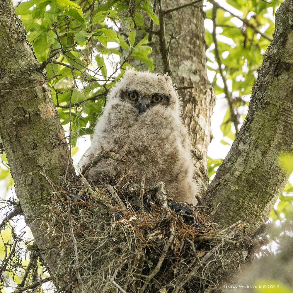 Great Horned Owlet staring at her adoring fans below...    Sony A77II with Sony 70-400 G2 f/5.6 1/640 sec ISO 1250; tripod