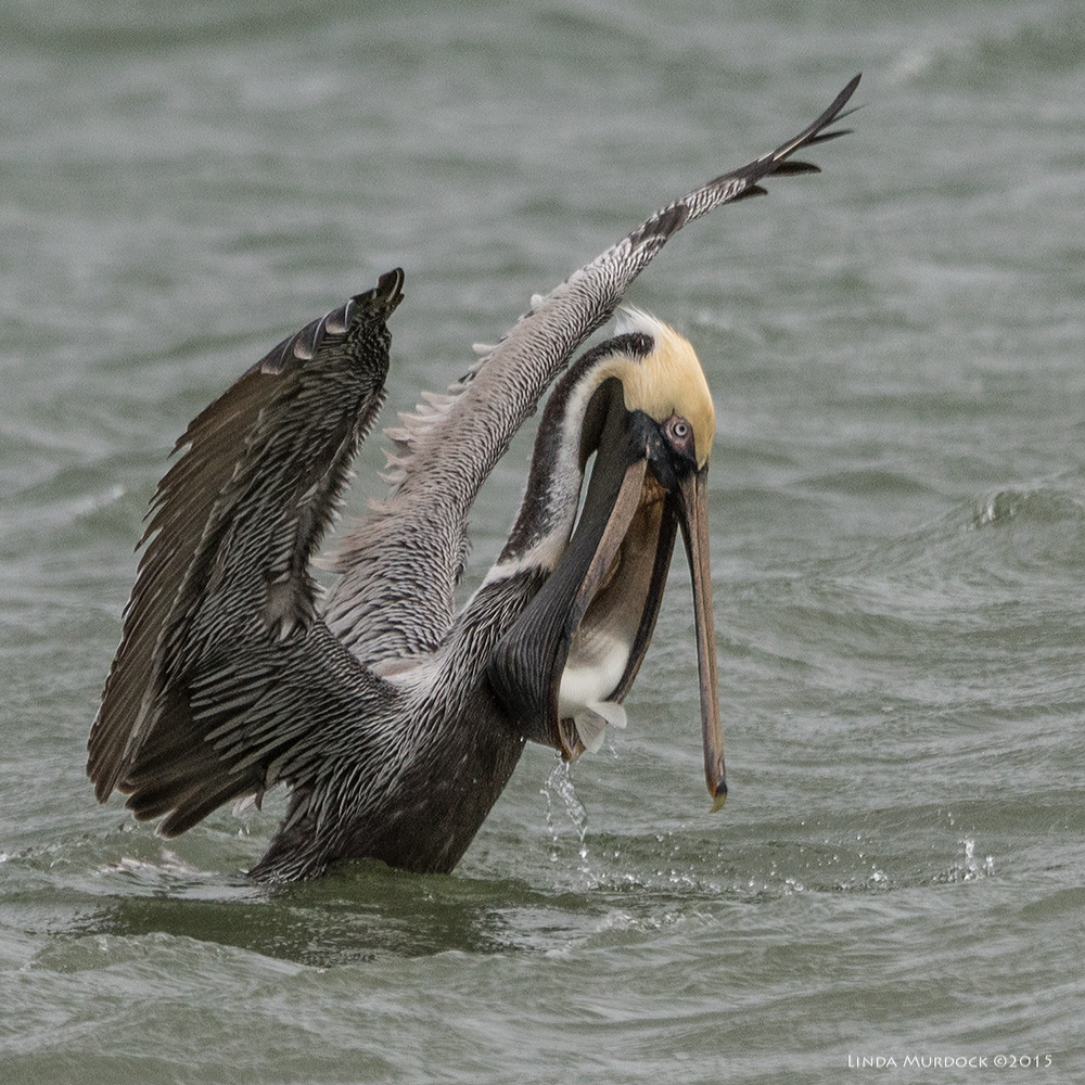 Brown Pelican with super-sized Mullet    Sony A77II with Sony 70-400 mm G2 f/6.3 1/1600 sec ISO 400