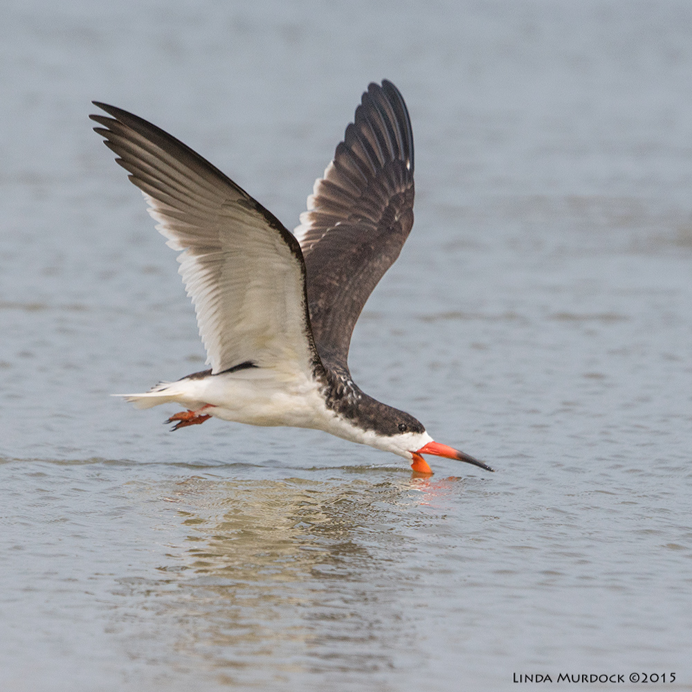 YoungBlack Skimmer at San Luis Pass... skimming.    Sony A77II with Sony 70-400 G2 f/7.1 1/2000 sec ISO 640; handheld