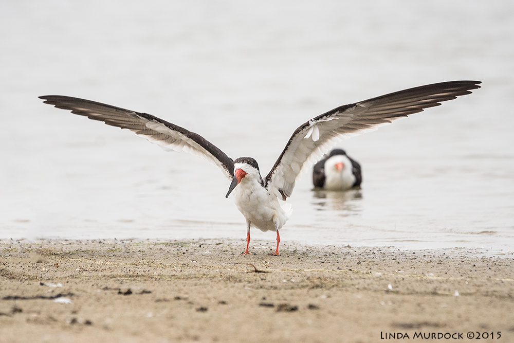 Black Skimmer has a wing spanof about 4 feet.    Sony A77II with Sony 70-400 G2 f/6.3 1/2000 sec ISO 1000
