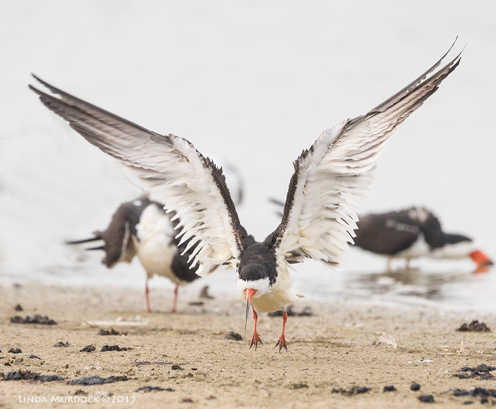 Black Skimmer off the ground!    Sony A77II with Sony 70-400 G2 f/6.3 1/2000 sec ISO 1250