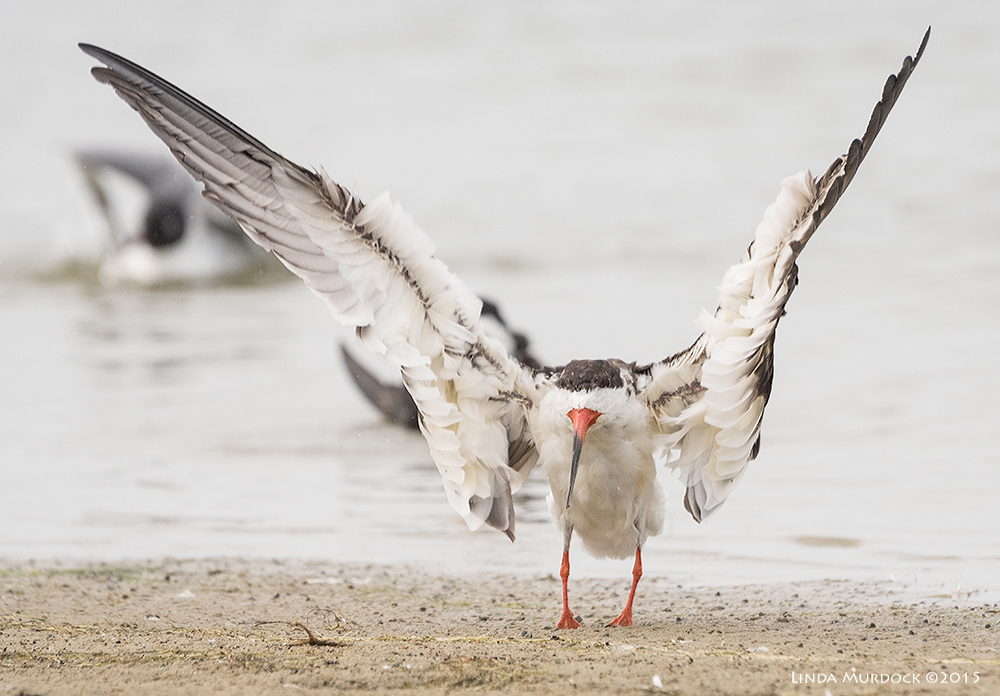 Black Skimmer still drying those huge wings    Sony A77II with Sony 70-400 G2 f/6.3 1/2000 sec ISO 1250