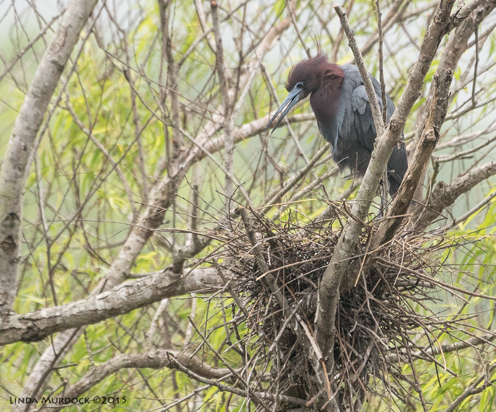 Handsome Little Blue Heron standing over nest    Sony A77II with Sony 70-400 G2 f/6.3 1/640 sec ISO 1000