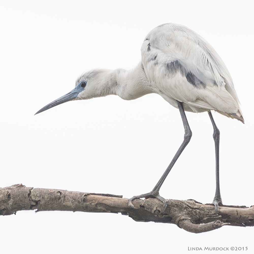 Juvenile Little Blue Heron    Sony A77II with Sony 70-400 G2   f/6.3 1/1250 sec ISO 1000