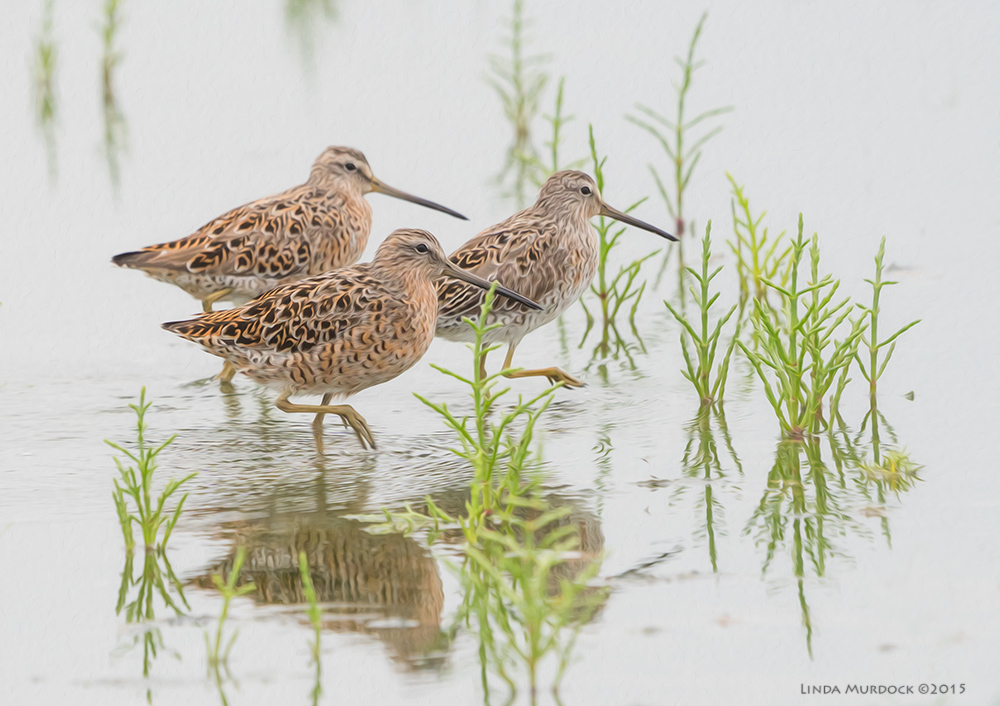 Trio of Short-billed Dowitchers at Surfside