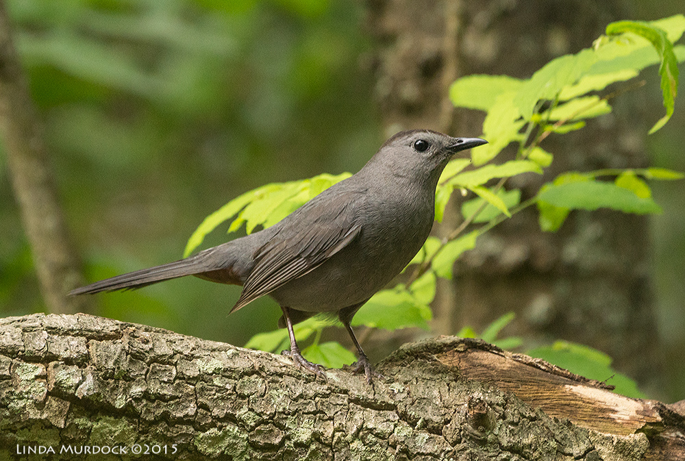 Gray Catbird has rusty tail feathers on the underside    Sony A77II with Sony 70-400 G2 f/5.6 1/250 sec ISO 1000