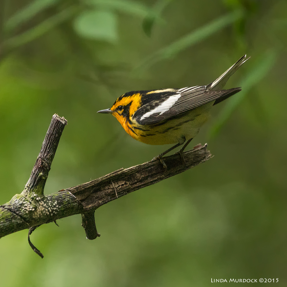 Blackburnian Warbler at Lafitte's Cove    Sony A77II with Sony 70-400 G2 f/5.6 1/250 sec ISO 1000