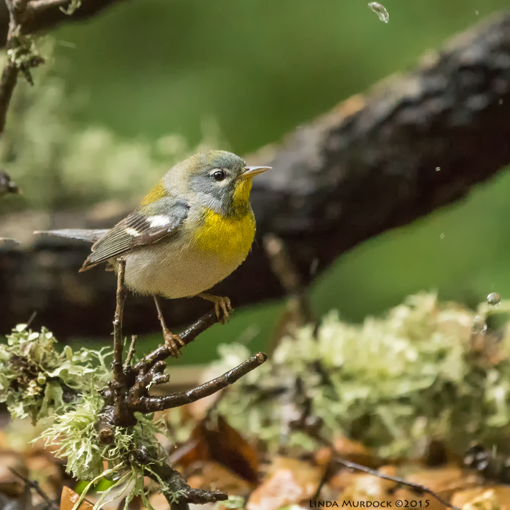 Northern Parula    Sony A77II with Sony 70-400 G2 f/5.6 1/160 sec ISO 3200