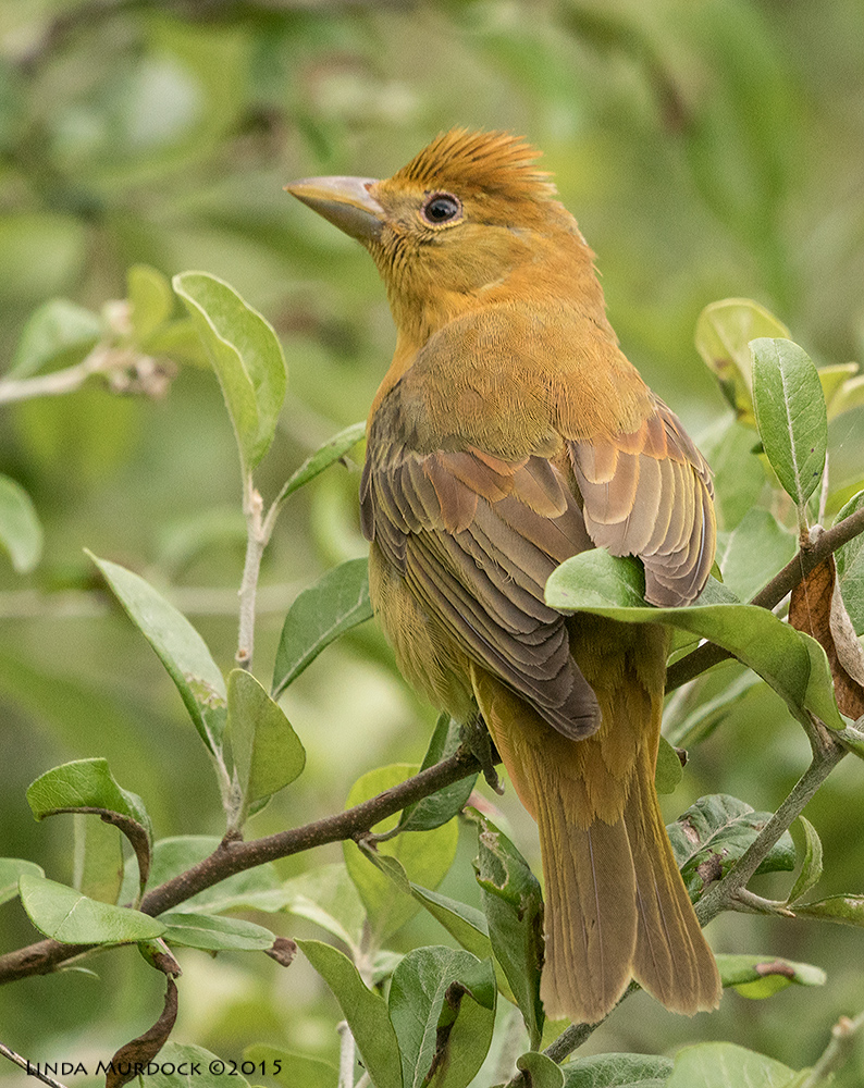 Female or young male Summer Tanager?    Sony A77II with Sony 70-400 G2 f/8.0 1/640 sec ISO 1250