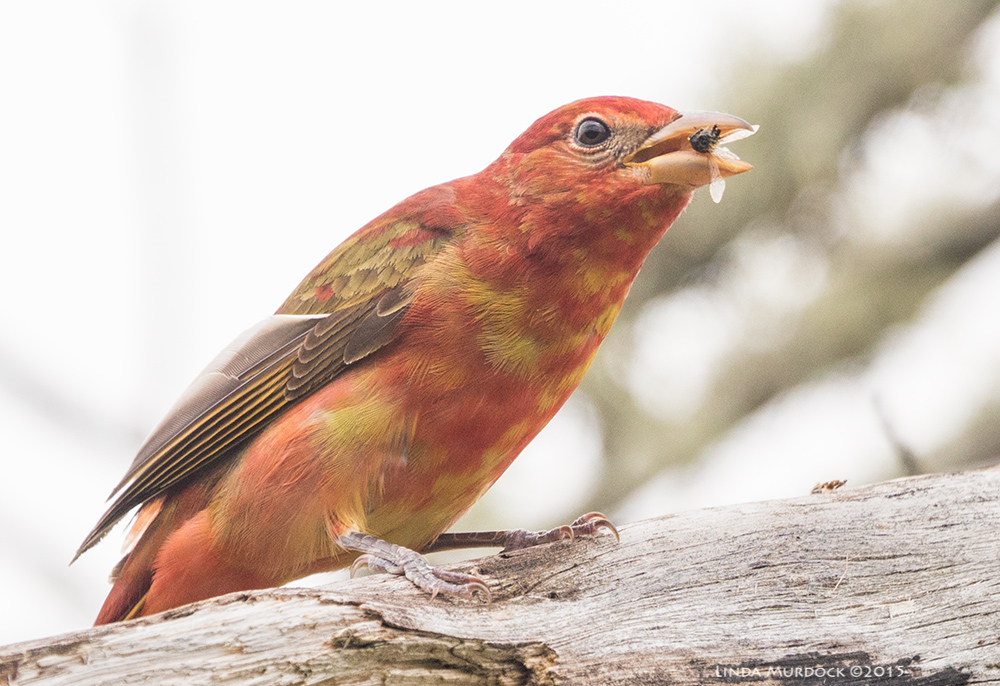 Young male Summer Tanager with bee    Sony A77II with Sony 70-400 G2 f/6.3 1/640 sec ISO 400