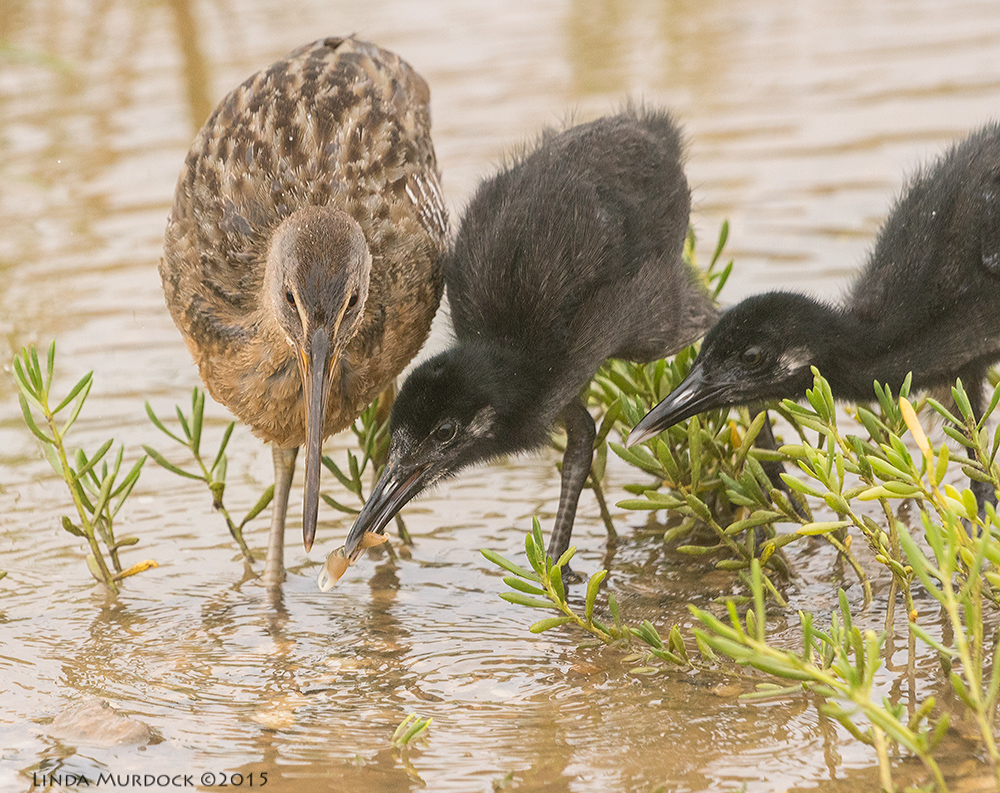Adult Clapper Rail with two chicks learning to eat crabs    Sony A77II with Sony 70-400 G2 f/7.11/1000sec ISO 1250