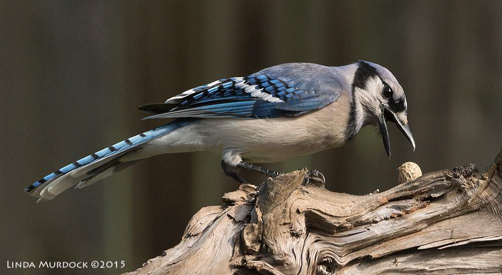 Blue Jay working hard to extract a peanut forced into crevice    Sony A77II with Sony 70-400 G2 f/7.11/2000sec ISO 1000