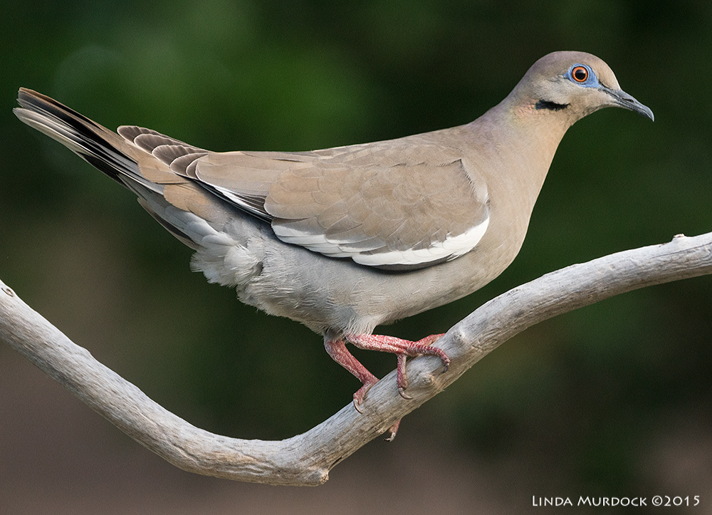 White-winged Dove    Sony A77II with Sony 70-400 G2 f/7.11/2000sec ISO 1000